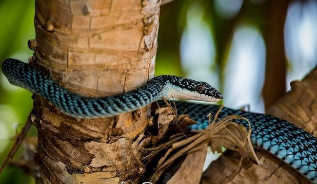Прикрашені змії зустрічаються поблизу поселень людини, в садах, на узліссях тропічних лісів.