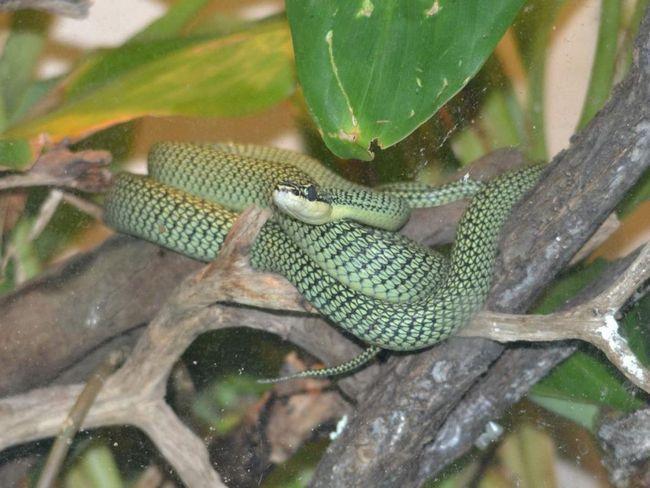 Звичайна прикрашена змія активна вдень. Харчується ящірками, жабами, а іноді і дрібними ссавцями.
