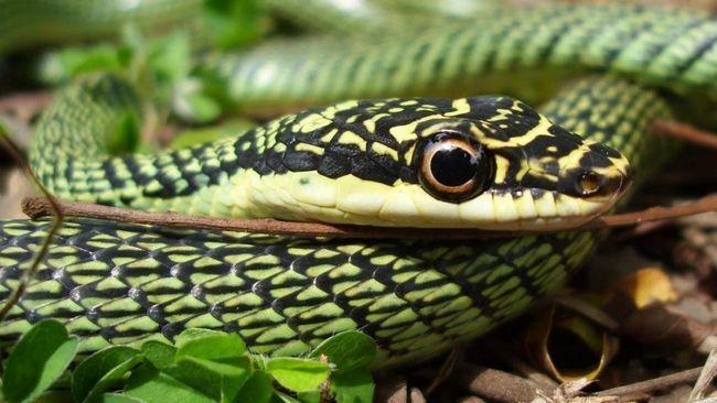 Звичайна прикрашена змія здатна до плануючого польоту.