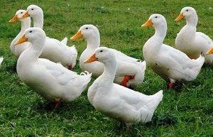 М`ясна порода качок Пекінська