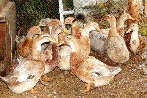 Домашні качки породи Орпінгтон