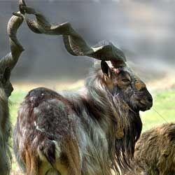 Огляд і опис основних видів гірських козлів