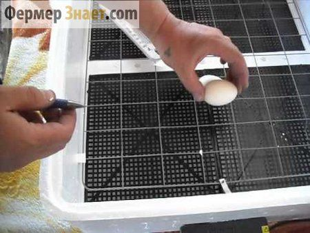 Закладка яєць в інкубатор