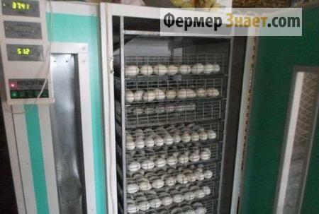 Яйця в інкубаторі