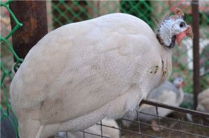 Сибірська біла цесарка на паркані