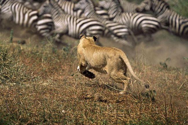 Паніка швидко поширилася по всьому стаду, варто було тільки левиці наблизитися до нього.
