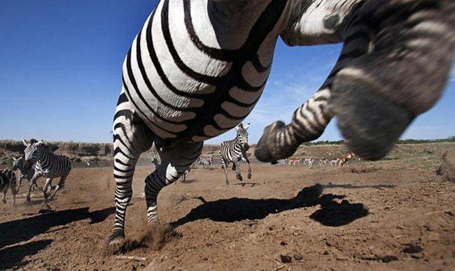 Зебра стрибає в декількох сантиметрах від об`єктива камери.
