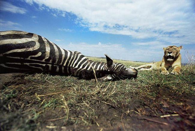 Цією зебрі не пощастило - гострі зуби левиці наздогнали її.