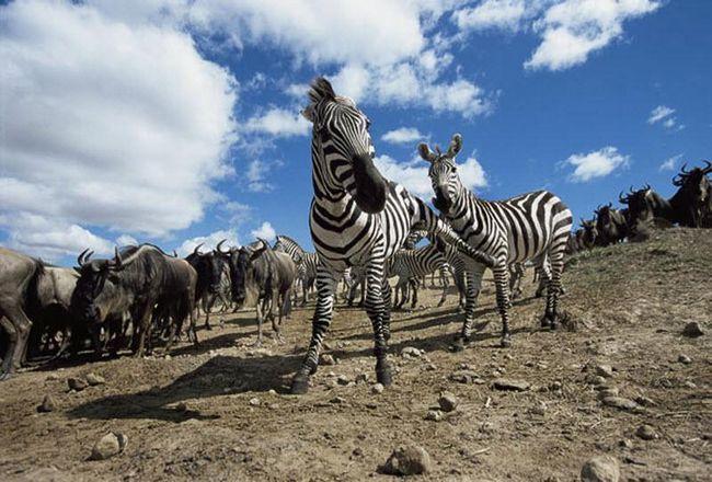У перервах між нападами хижаків життя у зебр не менше насичена. Кожні день потрібно відстоювати своє право на самку.