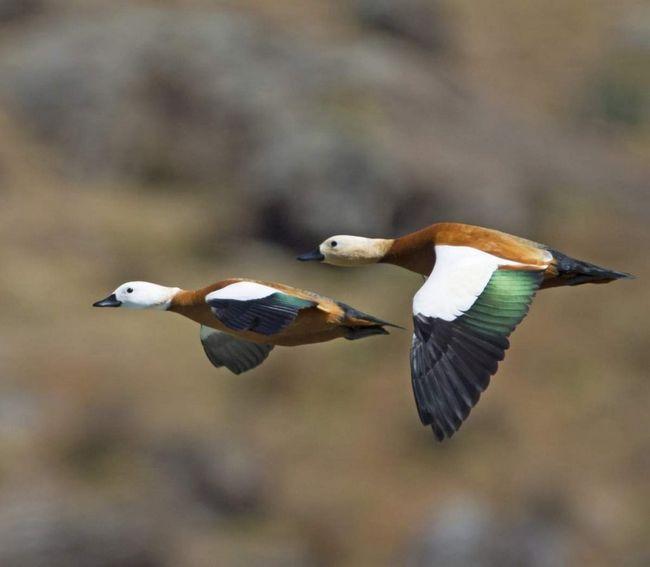 Качки здійснюють регулярні сезонні міграції в південному напрямку.