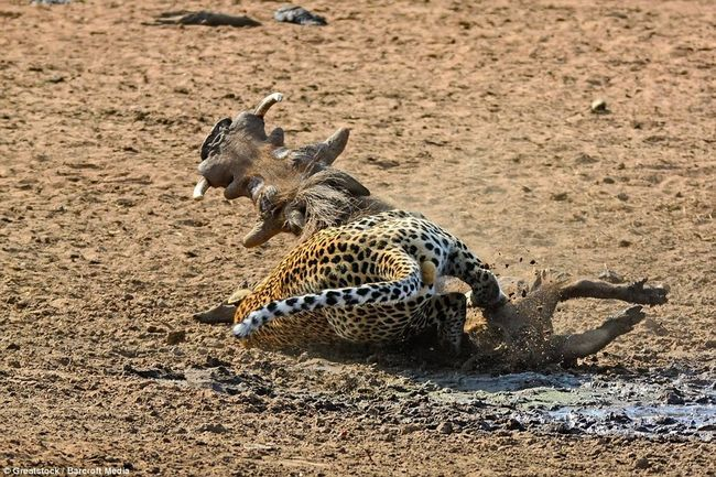 Полювання леопарда на сплячого бородавочника