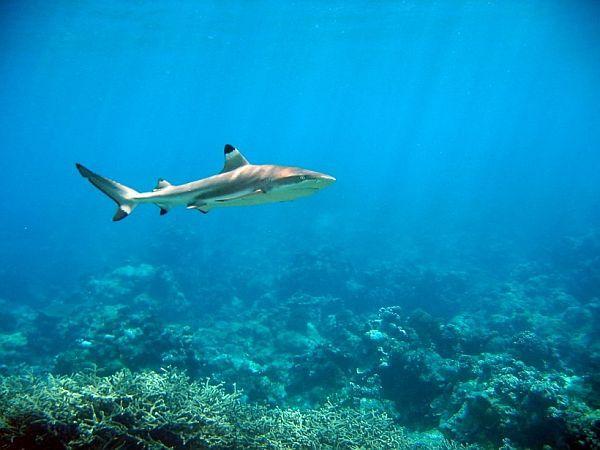 Акула чернопёрая рифова (Мальгаська нічна, Carcharhinus melanopterus), один з основних хижаків островів Лайн. (Тут і нижче фото авторів роботи)