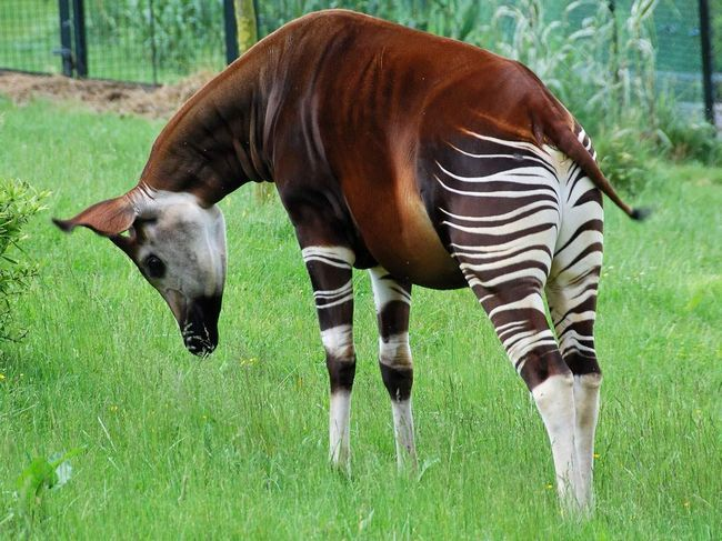 Окапі - травоїдна тварина.