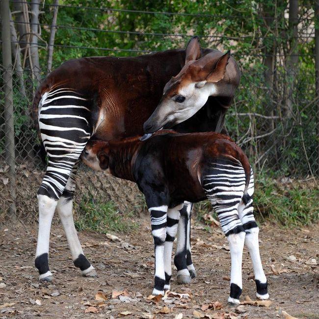 Самка окапі з малюком.
