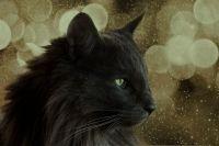 Норвезька лісова кішка чорна