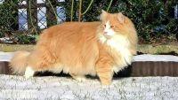 норвезький кіт чорний