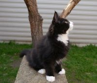 Норвезька лісова кішка чорно біла
