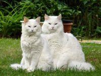 Норвезька лісова кішка біла
