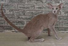 орієнтальна кішка мармуровий окрас