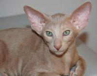 орієнтальна кішка ебони