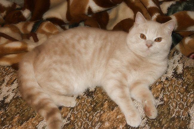 Забарвлення шотландських прямоухих кішок скоттиш страйт