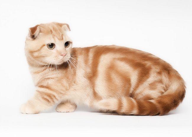 Червона висловуха шотландська кішка