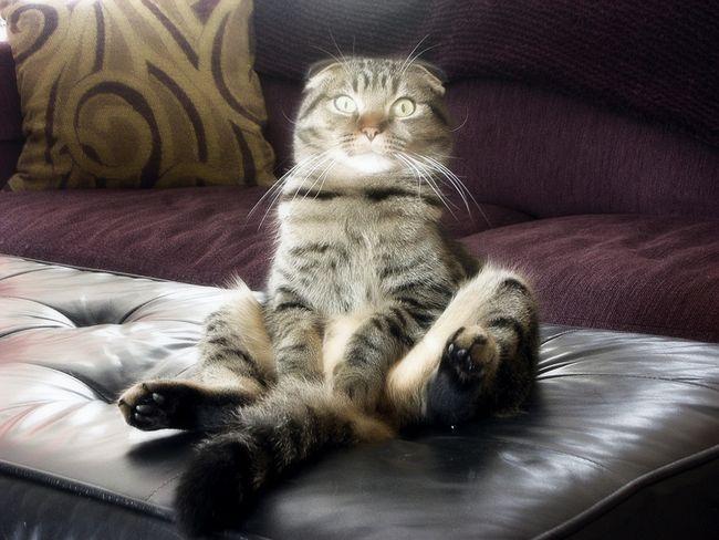 Тіккірованная висловуха кішка