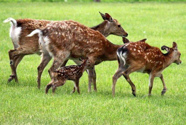 Самка привела оленяти в стадо