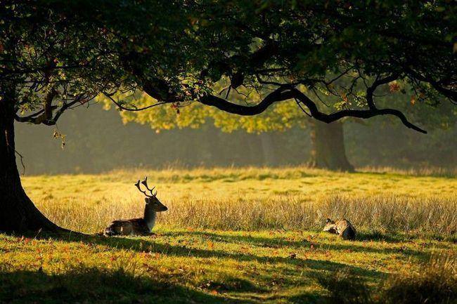Пара ланей (Cervus dama) в осінньому лісі