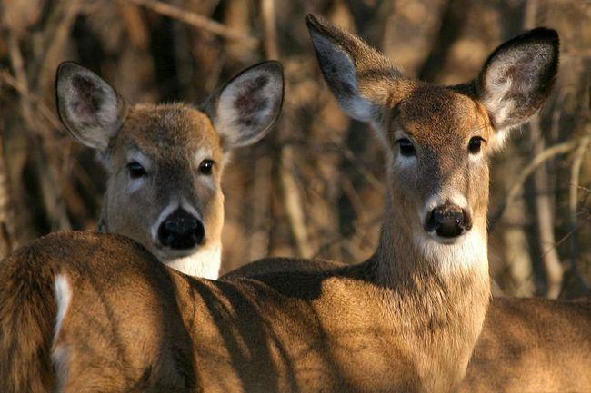 Самки оленів безрогі