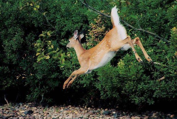 Зазвичай олені пересуваються стрибками.