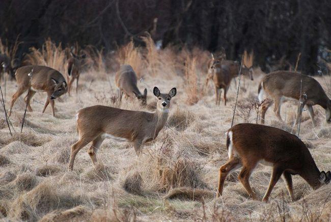 До зими стада оленів укрупнюються і можуть включати до 30-50 особин