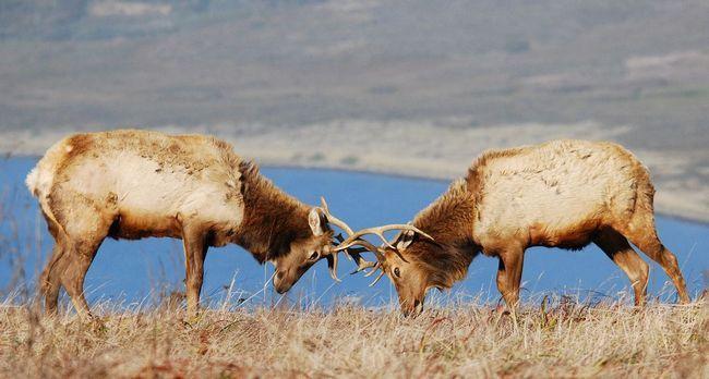 Шлюбний поєдинок оленів