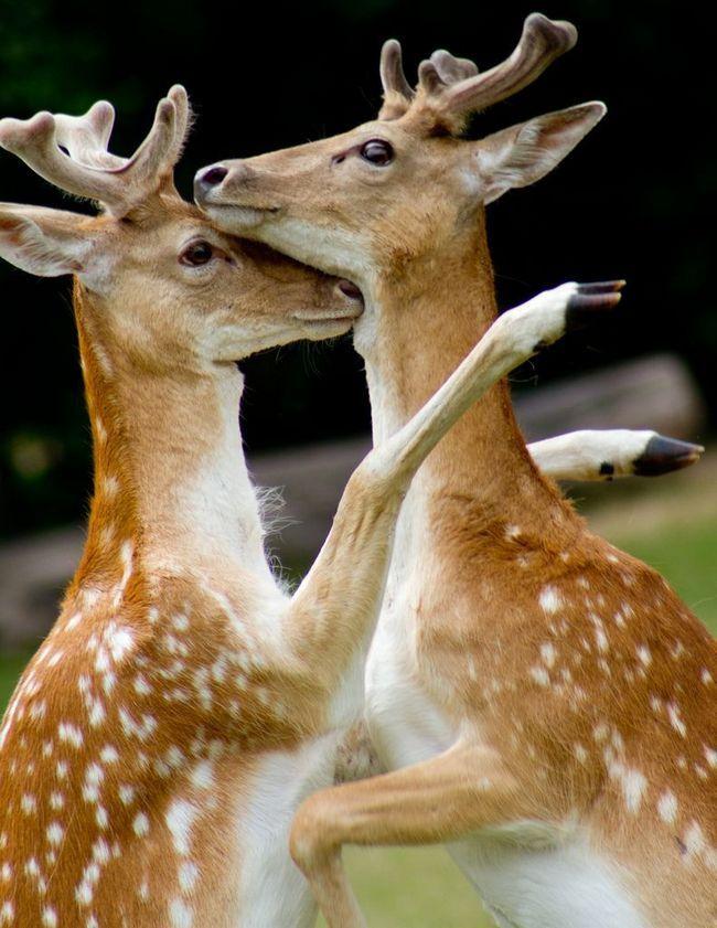Крім бодання олені можуть битися з суперником передніми ногами, підіймаючись на диби