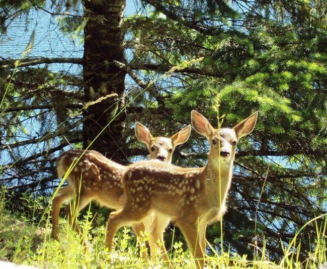 У всіх видів оленів дитинчата мають строкате фарбування (крім північного оленя), яка прекрасно маскує їх в лісі