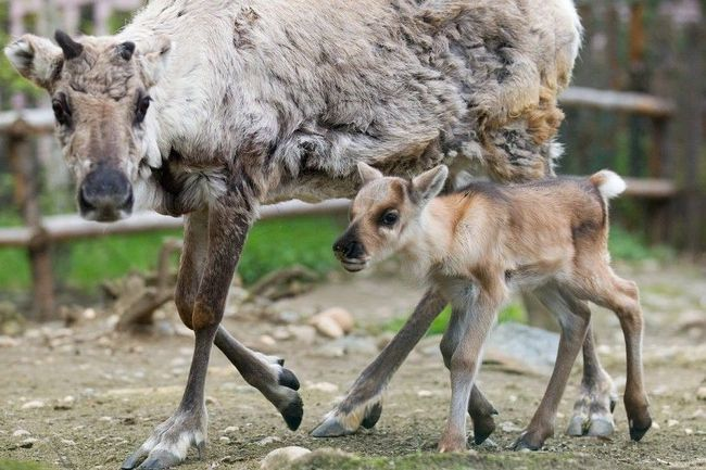 Самка оленя з дитинчам