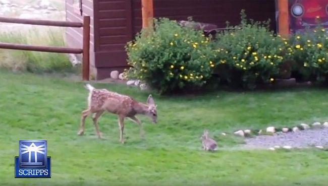 Майбутнє оленя залежить від материнської турботи, яку він отримав в ранньому дитинстві.