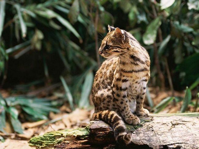 Леопард онцилла - спосіб життя «маленького ягуара»