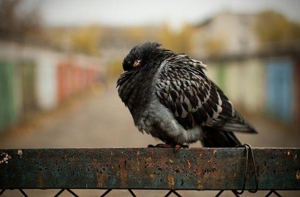 Найнебезпечніша хвороба голубів і її симптоми - орнітоз