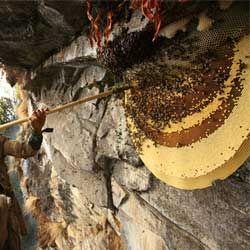 Опис і характеристика диких бджіл, де вони живуть і як зловити