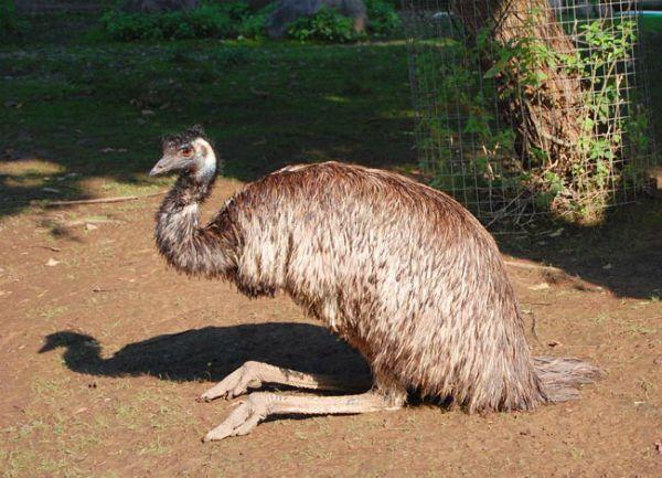 Опис і характеристика страуса ему