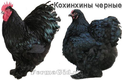 Курка і півень породи Кохинхин чорні
