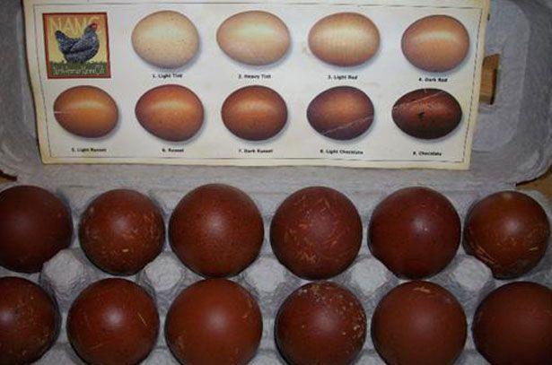 Яйця від курей породи Маран