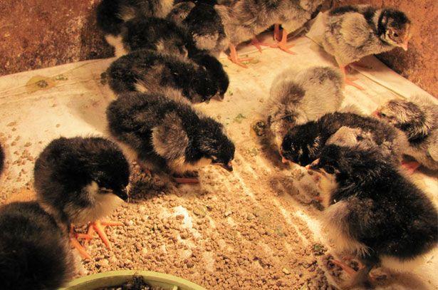 Курчата породи Маран