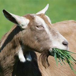 Опис і характеристики продуктивності тоггенбургской породи кіз