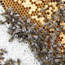 Опис і характеристики середньо породи бджіл, відгуки бджолярів