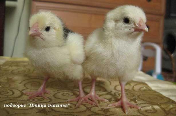 пушкінські курчата