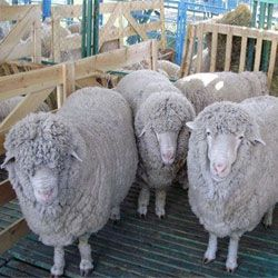 Куйбишевська порода овець