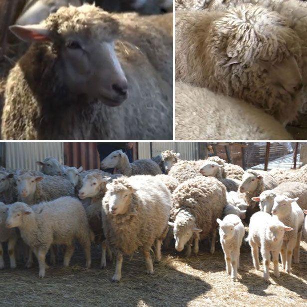 Вівці і ягнята куйбишевської породи