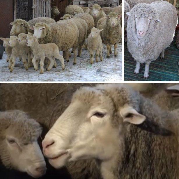 Куйбишевський вівці